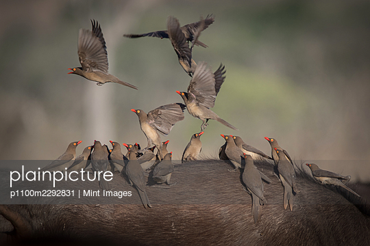 Red billed oxpeckers, birds perched on a buffalo - p1100m2292831 by Mint Images