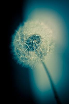 Nahaufnahme einer Pusteblume - p1057m1491779 von Stephen Shepherd