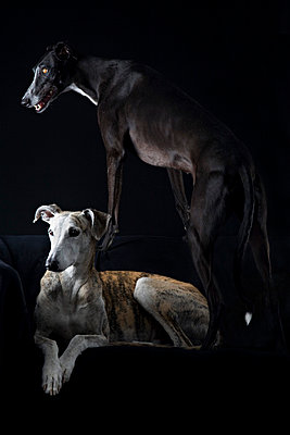 Spanish Galgos - p8690025 by Dombrowski