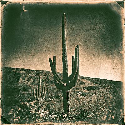 Saguaro - p1154m948075 by Tom Hogan
