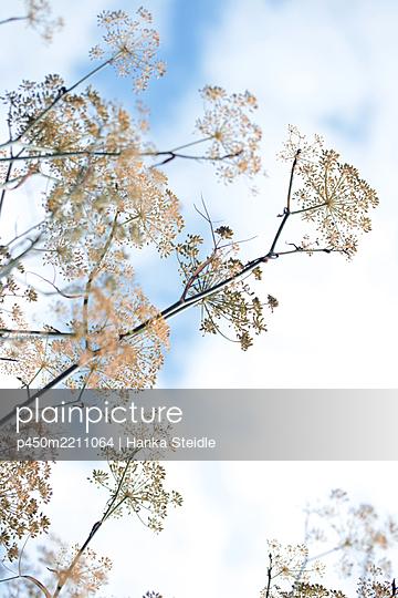 Flower umbels - p450m2211064 by Hanka Steidle