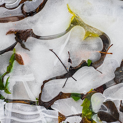 Frozen ice with plants - p312m1471647 by Benny Karlsson