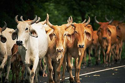 Kühe, Nicaragua - p844m880771 von Markus Renner