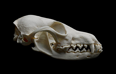 Animal Skull - p250m1090972 by Christian Diehl