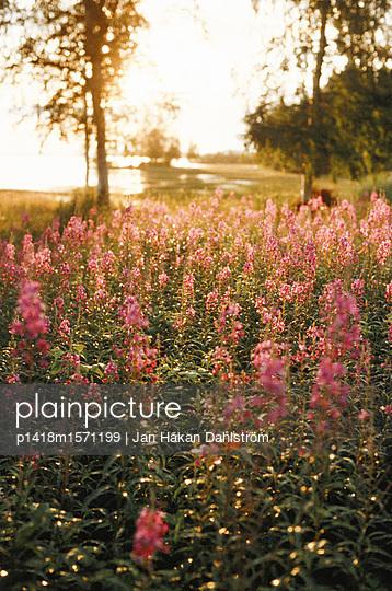Wilde Blumen - p1418m1571199 von Jan Håkan Dahlström