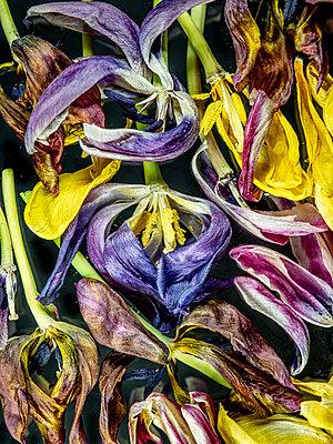 Verblühte Tulpen - p401m2185692 von Frank Baquet
