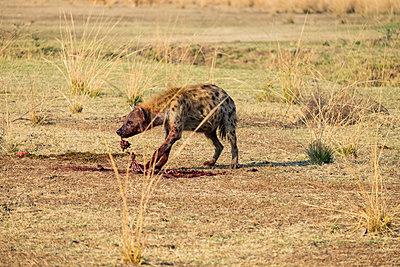 Tüpfelhyäne im Südluangwa-Nationalpark - p842m1538231 von Renée Del Missier