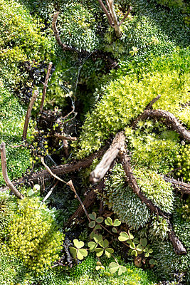 A close-up of moss creates a miniature fantasy world. - p1433m2082655 by Wolf Kettler