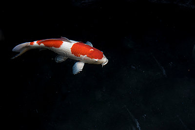 Japanese Koi carp - p1180m1017231 by chillagano