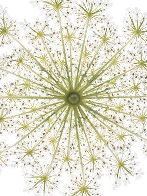 Schafgarbenblüte - p401m1462332 von Frank Baquet