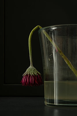 Withered flower in a glass vase - p1132m2126164 by Mischa Keijser
