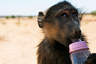 Namibia, portrait of a baby baboon with feeding bottle - p300m1100991f by Gemma Ferrando