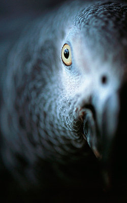 Eye of a grey parrot - p8850031 by Oliver Brenneisen