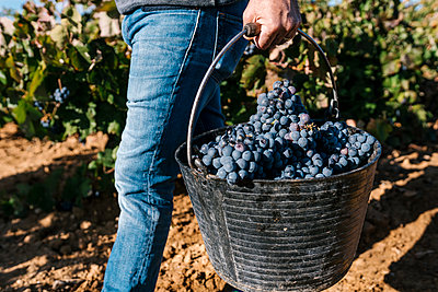 Man carrying bucket with black grapes while walking in harvest - p300m2242438 by Ezequiel Giménez