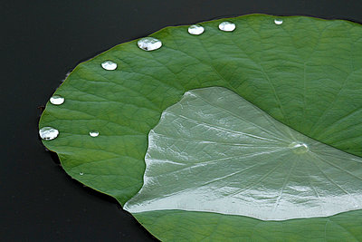 Lotus leaf - p307m826826f by Tetsuya Tanooka