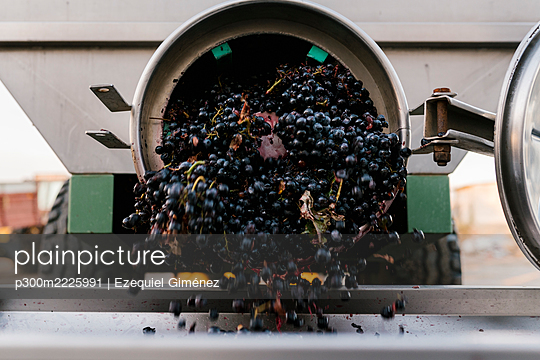 Grapes falling from machinery at winery - p300m2225991 by Ezequiel Giménez