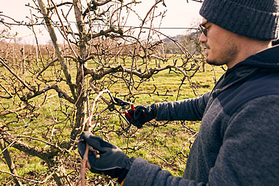 Farmer with pruning shears cutting branch of bare tree at orchard on sunny day - p300m2277608 by Sebastian Dorn