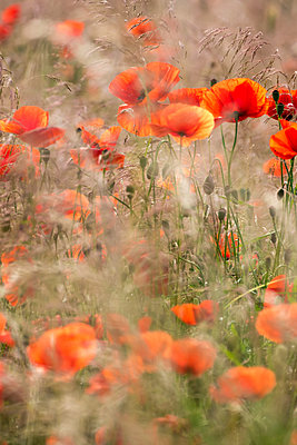 Flower field - p739m1147290 by Baertels