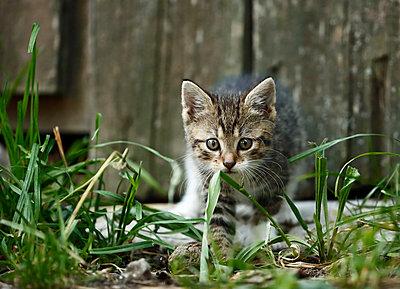 Tabby kitten, Felis silvestris catus, walking in front of old barn - p300m950733f by Silke Klewitz-Seemann