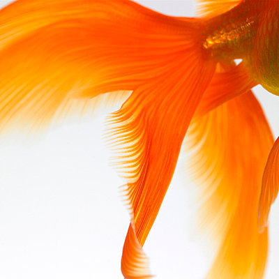 Close-up of a goldfish tail - p8710878 by Mark Mawson
