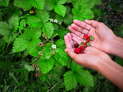 Mixed race girl gathering strawberries - p555m1305618 by Donald Iain Smith