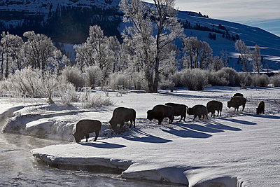 Bison (Bison bison) cows in the snow with frost-covered trees in the winter, Yellowstone National Park, UNESCO World Heritage Site, Wyoming, United States of America, North America - p871m975934f by James Hager