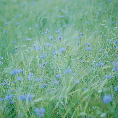 Cornflowers overexposed  - p1468m1558915 by Philippe Leroux