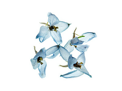 Delphinium blossoms against white background - p1677m2258968 by nina e. reiter