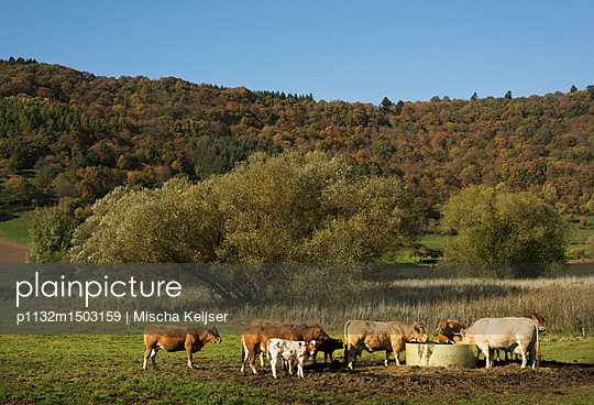Cattle on meadow - p1132m1503159 by Mischa Keijser