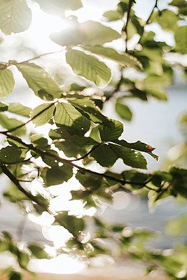 Green leaves against the light - p1507m2172009 by Emma Grann