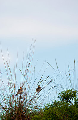 Two little birds in the blade of grass - p533m1134191 by Böhm Monika