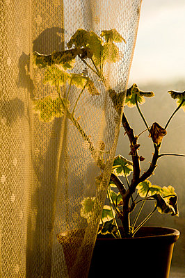 Potted Plant, Pelargonium, Behind Curtain - p8473563 by Klara G