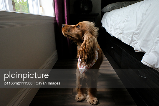 Cocker Spaniel looking at window while standing on hardwood floor at home - p1166m2111980 by Cavan Images
