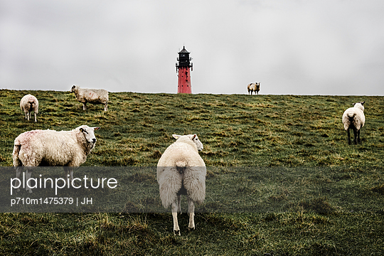 Flock of sheep in Pellworm - p710m1475379 by JH