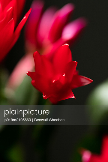 Red Easter cactus in front of black background - p919m2195663 by Beowulf Sheehan