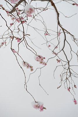 Blütenzweig im Schnee - p1164m1034832 von Uwe Schinkel