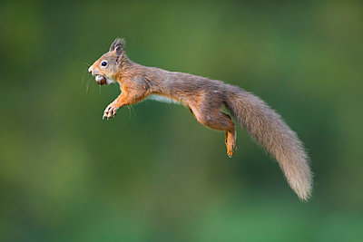 Jumping red squirrel carrrying hazelnut in mouth - p300m2144461 von Mark Johnson