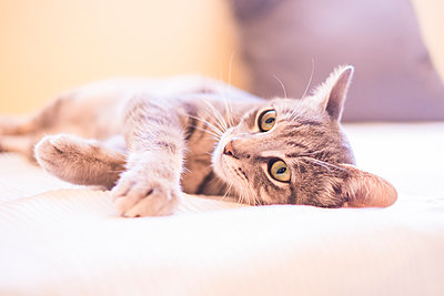 Tabby cat relaxing on bed - p300m1505424 by Simona Pilolla
