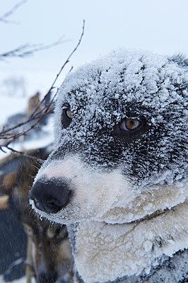Husky - p1115m890231 von Nikolai Buroh