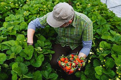 Farmer picking strawberries, organic farming - p300m2198754 by Michela Ravasio
