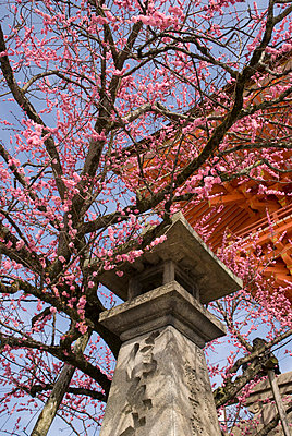 Cherry blossom tree with japanese stone lantern and temple roof; kyoto, japan - p442m718998f by Philippe Widling