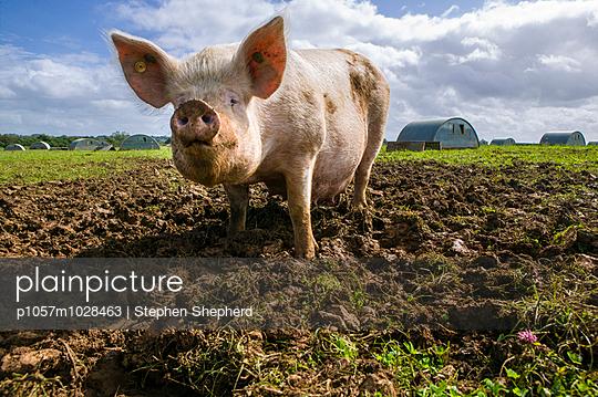 Schwein - p1057m1028463 von Stephen Shepherd