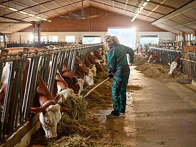 Female farmer feeding cows in stable on a farm - p300m2166536 by Christian Vorhofer