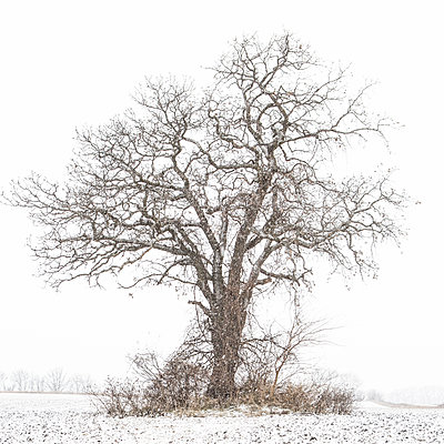 Lone Tree in Field During Winter Snowstorm - p694m2097210 by Lori Adams