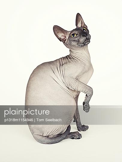 Nude Cat - p1318m1154946 von Tom Seelbach