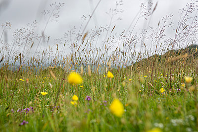 Tufts of grass and wild flowers  - p1057m2008291 by Stephen Shepherd