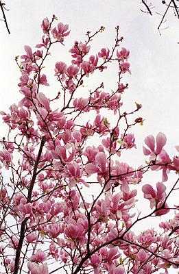 Kirschblüten - p3610011 von Ute Behrend