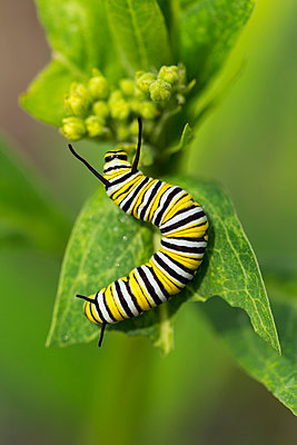 Monarch Butterfly Caterpillar (Danaus plexippus) on leaf, Shirley Richardson Butterfly Garden; Winnipeg, Manitoba, Canada - p442m904783f by Ken Gillespie