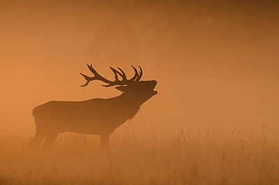Red deer surrounded by thick fog - p575m1074967f by Karlsson, Henrik