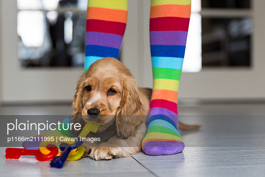 Low section of girl wearing colorful stockings standing by young English Cocker Spaniel on floor at home - p1166m2111995 by Cavan Images